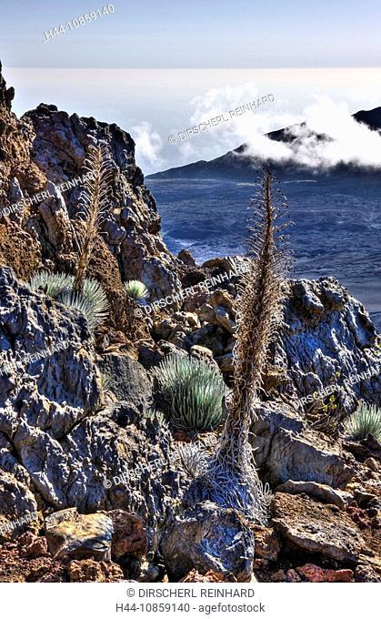 Silversword, Haleakala Volcano Crater, Argyroxiphi