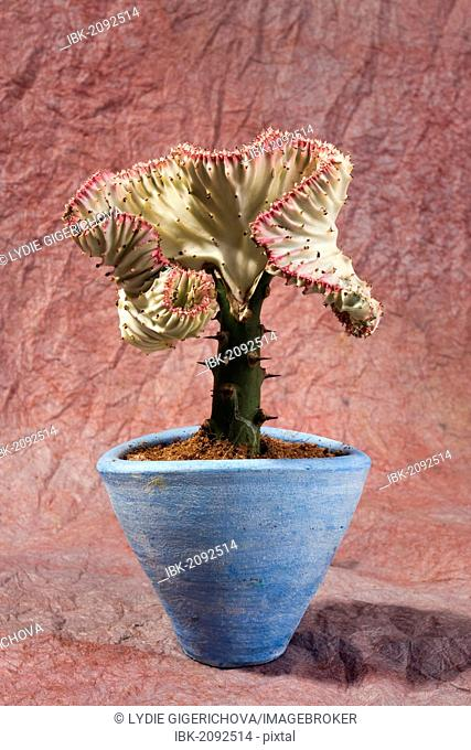 Spurge (Euphorbia) in a plant pot