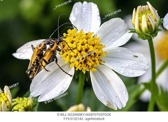 Goldenrod soldier beetles or Pennsylvania leatherwing beetles mating (Chauliognathus pensylvanicus) - North Carolina Arboretum, Asheville, North Carolina, USA
