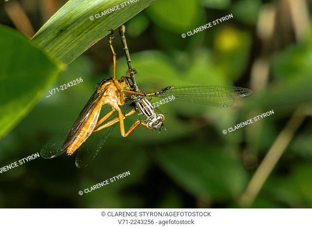 Bearded Robber Fly (Diogmites sp.) Feeding on Big Bluet Damselfly (Enallagma durum) while Hanging from Phragmites australis Leaf