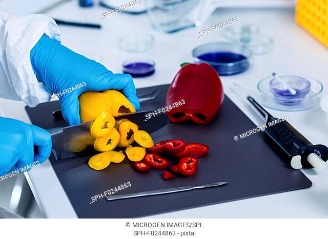 Quality control food safety inspector working with vegetables in a laboratory