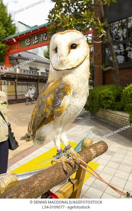 Pet Owl on the street in Asakusa Tokyo Japan Asia