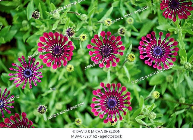 Daisybushes (Osteospermum), African daisies, flower, Victoria, Australia, Oceania