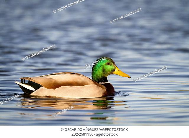 Mallard (Anas platyrhynchos) male on water. Ebro Delta Natural Park. Catalonia. Spain