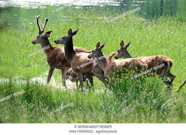 Red deer, antlers, antler, Cervid, Cervus elaphus, deer, stag, stags, hoofed animals, European deer, spring, velvet, animal, animals, Germany, Europe