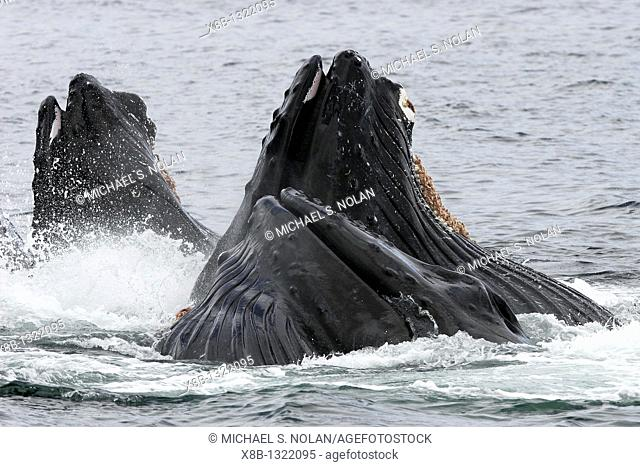 Humpback whales Megaptera novaeangliae co-operatively 'bubble-net' feeding note the baleen hanging from the upper jaws in Southeast Alaska, USA  Pacific Ocean