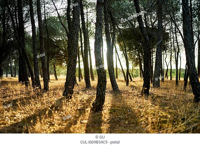 Sunlight through trees in forest, Tudela de Duero, Spain
