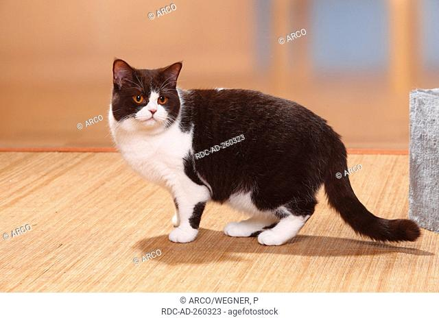 British Shorthair Cat chocolate-white side