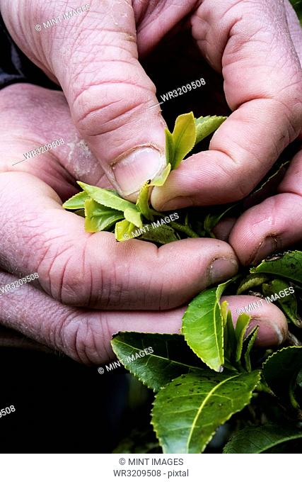 Close up of person holding freshly harvested green tea leaves