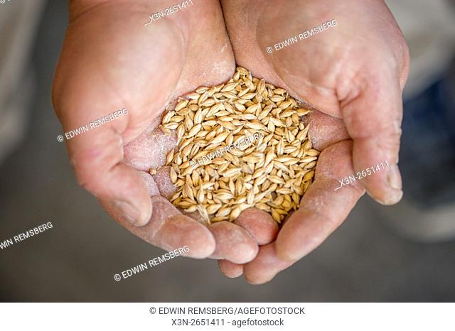 Barley grains in a person's hands at a distillery in Portland, Maine