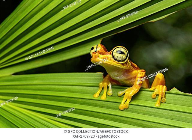 Imbabura Treefrog (Hypsiboas pictuator), Treefrog family (Hylidae), Amazon rainforest, Canande River Reserve, Choco forest, Ecuador