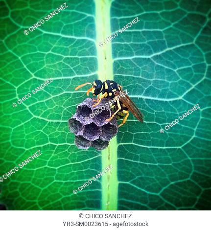 A wasp perches on her nest in Prado del Rey, Sierra de Cadiz, Andalusia, Spain