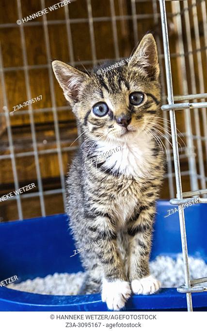 Cute blue eyed kitten in its litter box
