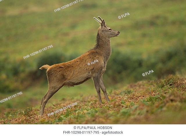 Red Deer (Cervus elaphus) young stag, standing on bracken, during rutting season, Bradgate Park, Leicestershire, England, October