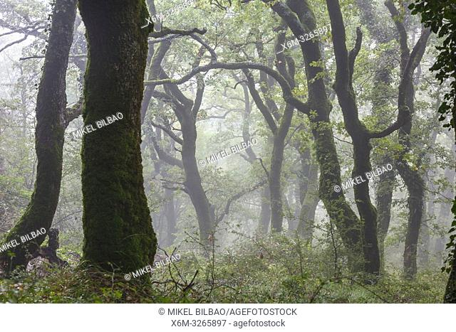 Oakwood in the mist. Aralar mountain range. Navarre, Spain, Europe