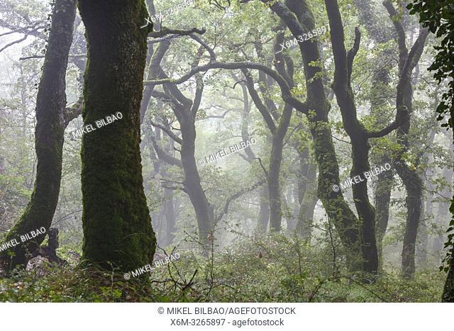 Oakwood in the mist. Aralar mountain range. Navarre, Spain, Europe