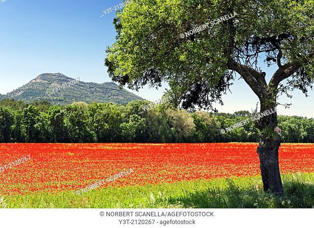 Europe, France, Var. Poppy fields in the Var area