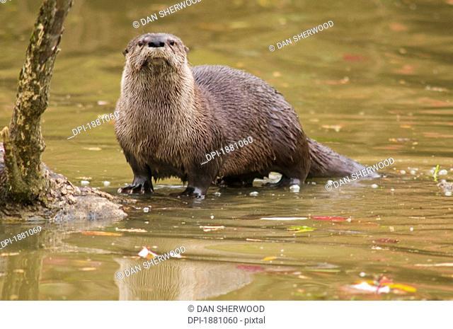 river otter at oaks bottom wildlife refuge, portland, oregon, united states of america