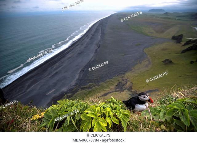 Dyrholaey, Vik i Myrdal, Southern Iceland. Puffins on top of the cliff
