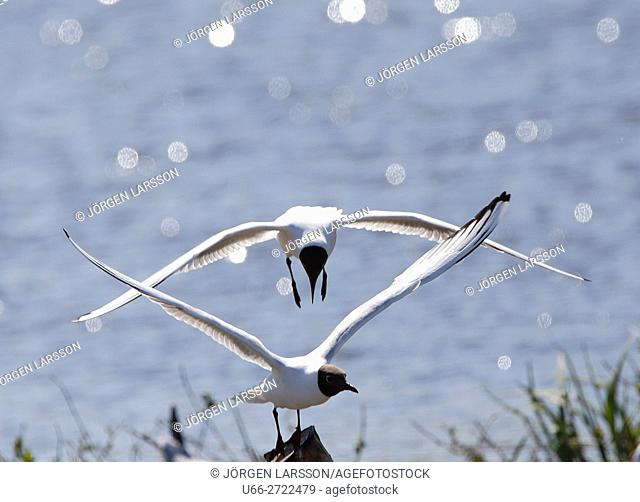 Black headed gull (Larus ridibundus), Skovde, Vastergotlan, Sweden