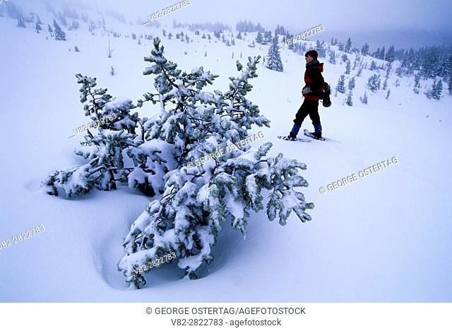 Snowshoeing by pine in winter at Timberline, Mt Hood National Forest, Oregon