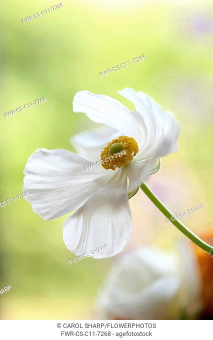 Ranunculus, Persian ranunculus, a white simple Ranunculus asiaticus cultivar, The flower is fully open showing a ring of yellow stamen