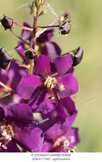 Verbascum phoeniceum, Purple mullein