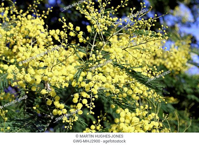 Acacia Dealbata Subalpina Mimosa Stock Photo Picture And Rights