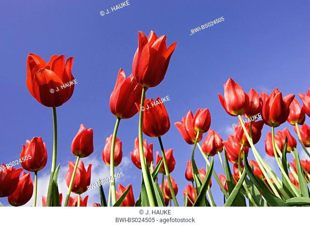 common garden tulip (Tulipa gesneriana), flowers against blue sky, Netherlands, Sint Maartensbrug