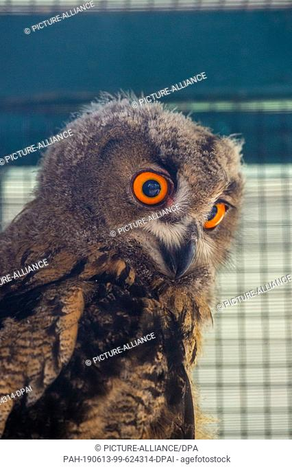11 June 2019, Saxony-Anhalt, Stendal: An eagle owl chick sits in the Stendal zoo in a remote vogliere. The chick had fallen out of its nest on 19 May 2019 in a...