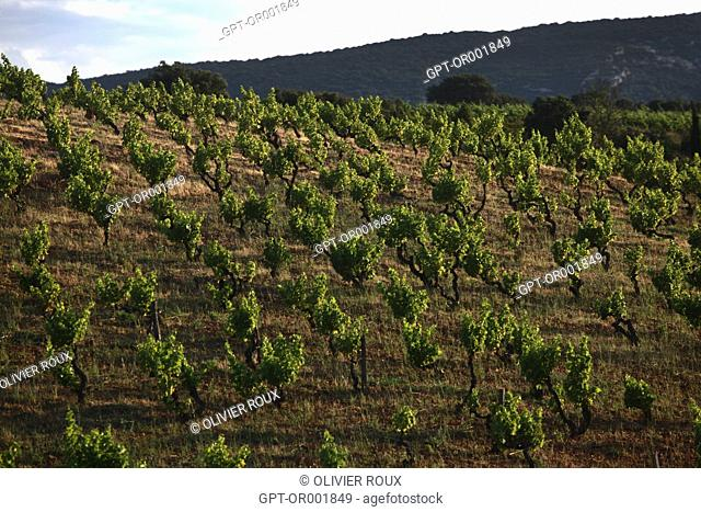 VINEYARDS IN THE AREA AROUND VINGRAU IN THE ROUSSILLON, (66) PYRENEES-ORIENTALES, LANGUEDOC-ROUSSILLON, FRANCE