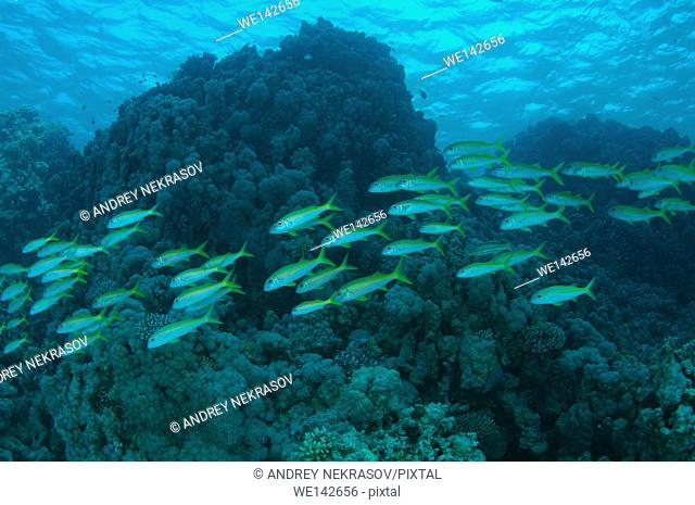 school of fish Yellowfin goatfish, Golden banded goatfish, Non-spotted goatfish or Banded goatfish (Mulloidichthys vanicolensis) swims near coral reef, Red sea