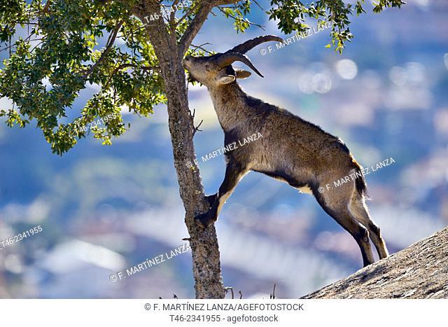 Ibex Capra pirenaica. La Pedriza. Parque regional de la Cuenca Alta del Manzanares. Madrid Province, Spain