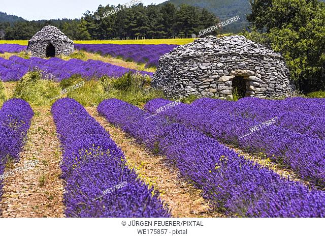 lavender field with old round stone huts, village Ferrassières, Provence, France