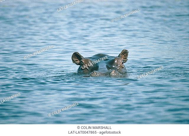 Hippo with top of head sticking out of water. Hippopotamus amphibus. Rippled water