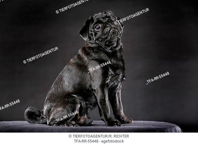 sitting pug