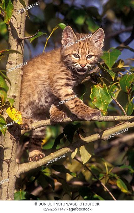 Bobcat (Felis rufus) Kittens, captive raised, Columbia Falls, Montana, USA