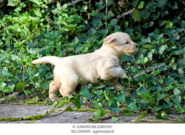 Golden Retriever. Puppy (4 weeks old) running on a terrace through Ivy. Germany