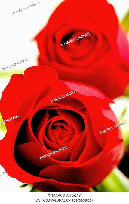 romance red roses for present