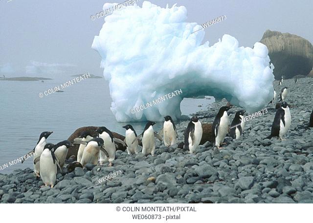 Adelie penguins (Pygoscelis adeliae) on beach. Brown Bluff. Antarctic Peninsula. Antarctica