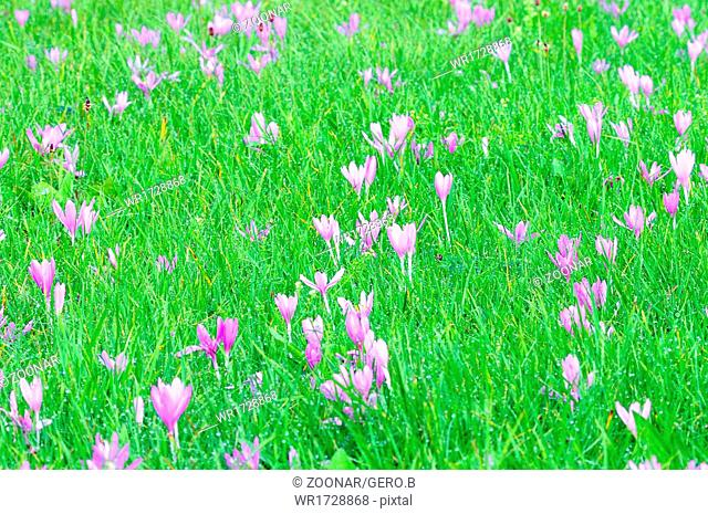 Meadow full of autumn crocus