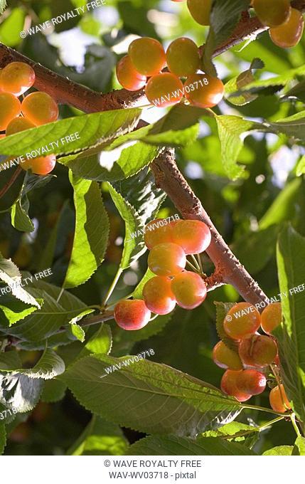 Rainier cherries, a hybrid between Bing and Van cherries, Okanagan Centre, BC Canada