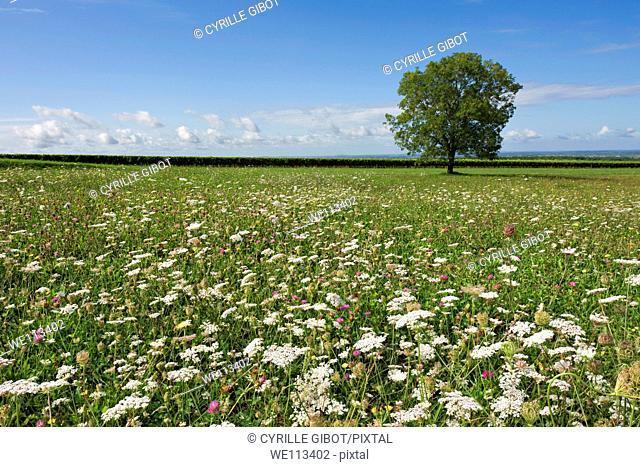 Lone tree in flower field  Charente departement, France
