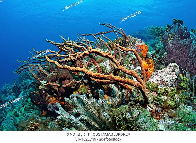 Coral reef, coral block, slope, overgrown, various multicoloured sponges and corals, Little Tobago, Speyside, Trinidad and Tobago, Lesser Antilles