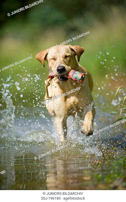 Labrador Retriever Adult dog carrying a toy in its mouth, running in swallow water Germany