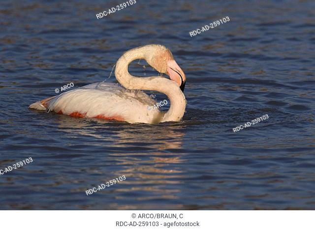 Greater Flamingo Camargue Southern France Phoenicopterus ruber roseus