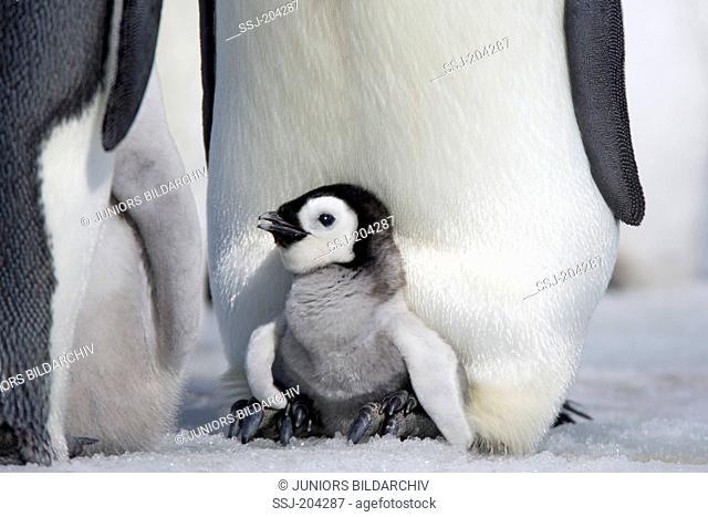 Emperor Penguin (Aptenodytes forsteri). Chicks on the feet of parent birds. Snow Hill Island, Antarctica