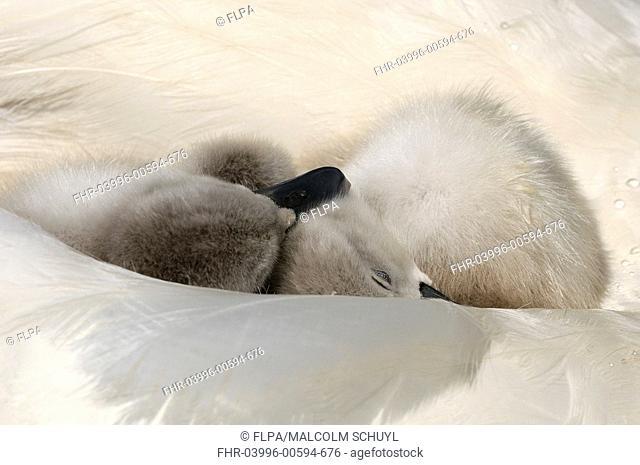 Mute Swan Cygnus olor two cygnets, sleeping on back of adult female, Abbotsbury, Dorset, England