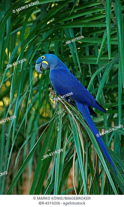 Hyacinth Macaw (Anodorhynchus hyacinthinus), Pantanal, Mato Grosso, Brazil
