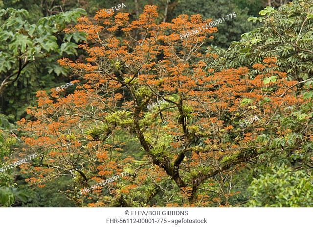 Mountain Immortelle (Erythrina poeppigiana) naturalised species, flowering, with epiphytes growing on branches, Trinidad, Trinidad and Tobago, February
